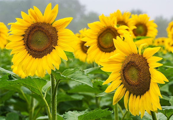 Sunflowers 02
