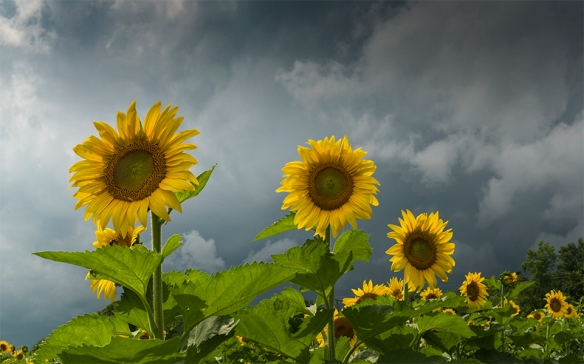 Sunflowers 03
