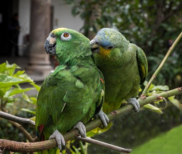 Ecuador 07 parrots