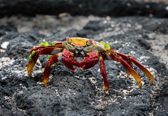 Galapagos 08 Crab