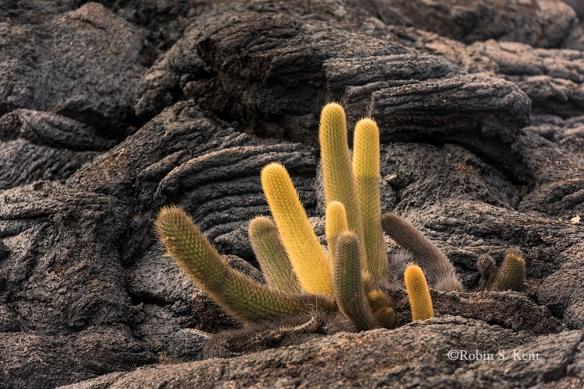 Galapagos 12 Cactus